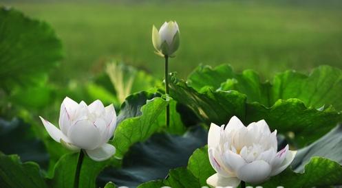 Hoa sen và những điều cần biết về hoa sen 12