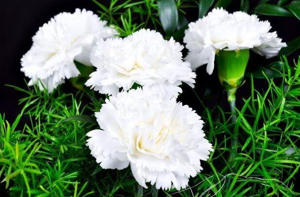 Hình ảnh hoa cẩm chướng đẹp nhất 9