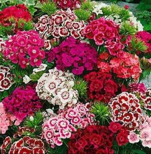 Hình ảnh hoa cẩm chướng đẹp nhất 16
