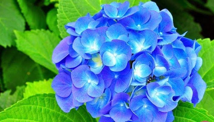 Hình ảnh về hoa cẩm tú cầu4