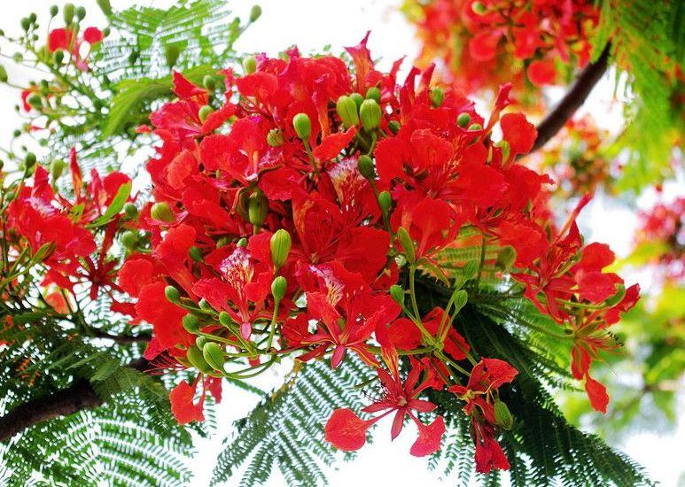 Hình ảnh hoa phượng đẹp nhất ngày hè 12