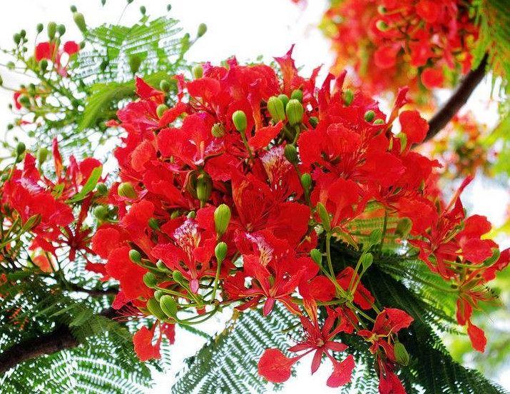Nguồn gốc và ý nghĩa của hoa Phượng