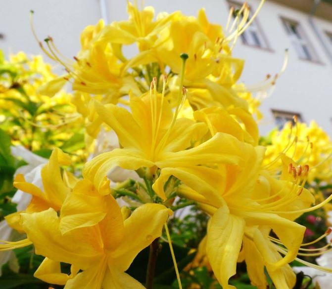Hình ảnh về hoa đỗ quyên đẹp 13