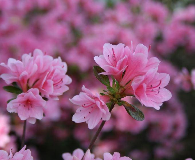 Kỹ thuật trồng hoa đỗ quyên