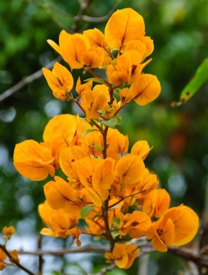 Hình ảnh về cây hoa giấy đẹp nhẹ nhàng 16