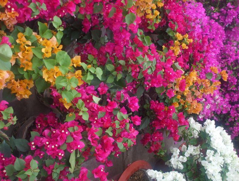 Hình ảnh về cây hoa giấy đẹp nhẹ nhàng 2