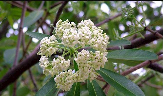 Hình ảnh về hoa sữa mùa thu 11