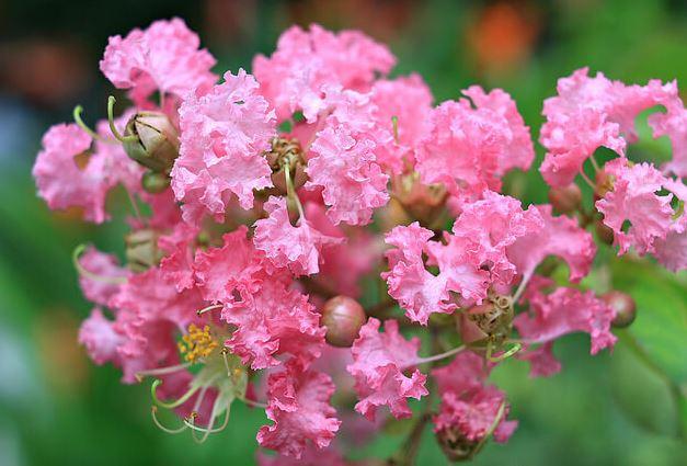 Hình ảnh về hoa tường vi đẹp nhất 5
