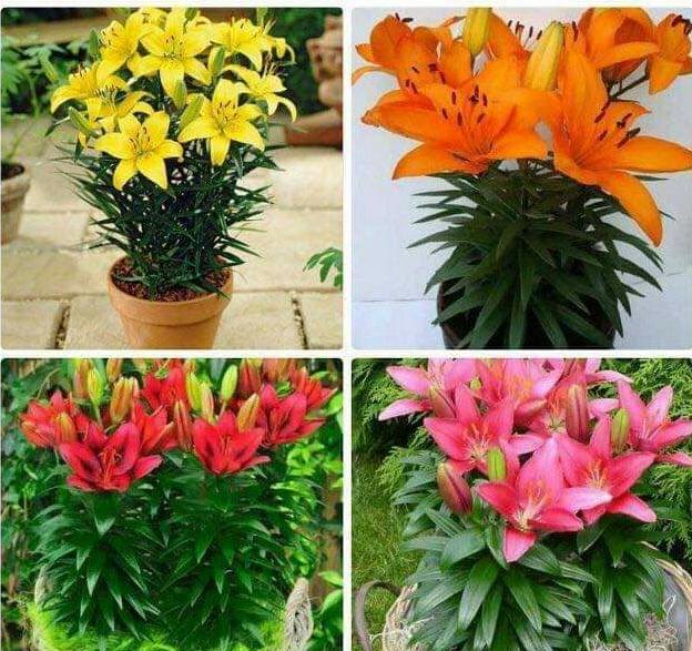 Những hình ảnh về hoa ly đẹp nhất   14