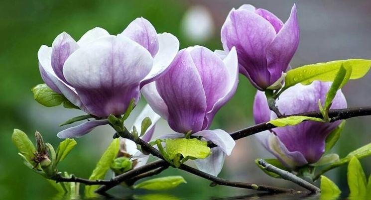 Hình ảnh về loài hoa mộc lan đẹp 16