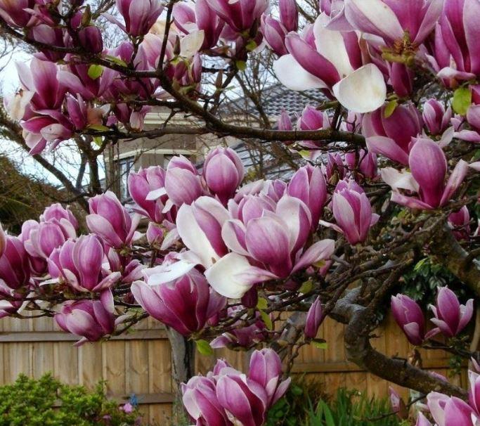 Hình ảnh về loài hoa mộc lan đẹp 7