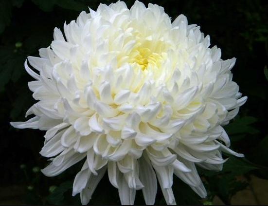 Những hình ảnh về hoa Cúc đẹp nhất 9