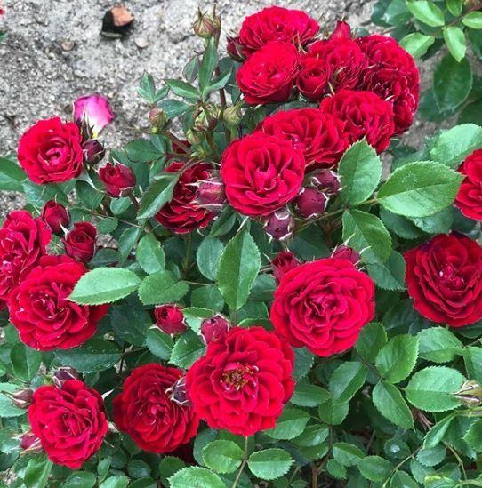 Hình ảnh đẹp nhất về loài hoa hồng leo 10