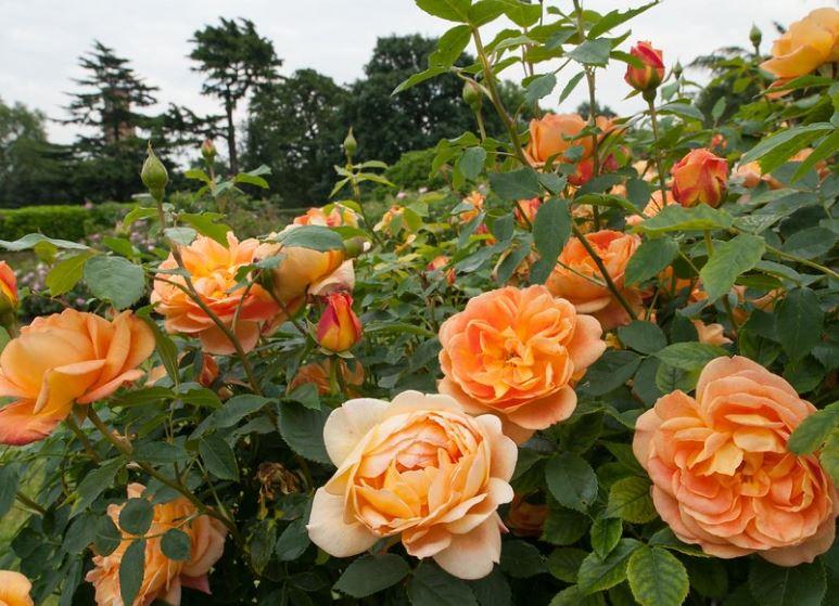 Hình ảnh đẹp nhất về loài hoa hồng leo 25