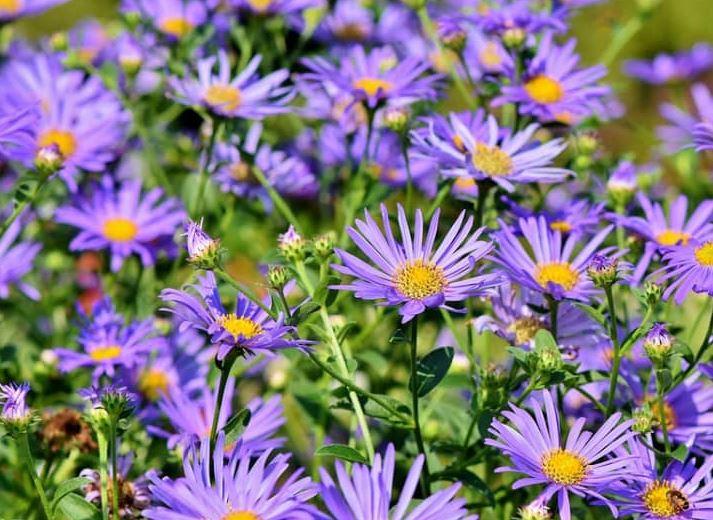 Hình ảnh đẹp nhất về hoa thạch thảo 7