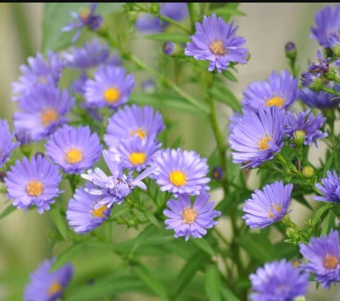 Giới thiệu về loài hoa thạch thảo