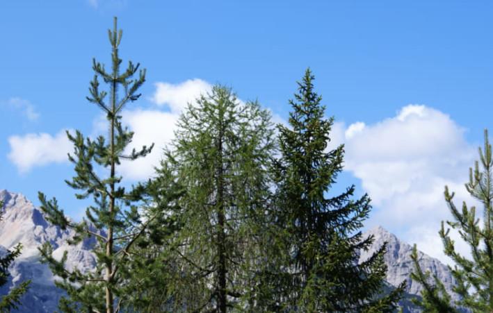 Cây Thông - Đặc điểm và ý nghĩa phong thủy của Cây Thông 2