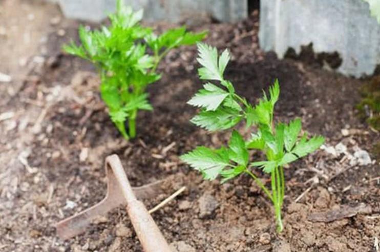 Cây Cần Tây - Đặc điểm, công dụng, cách trồng và chăm sóc 6